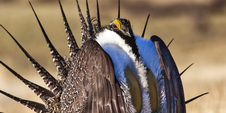 RMW responds to draft land management plan aimed at making changes to the greater sage-grouse conservation plan