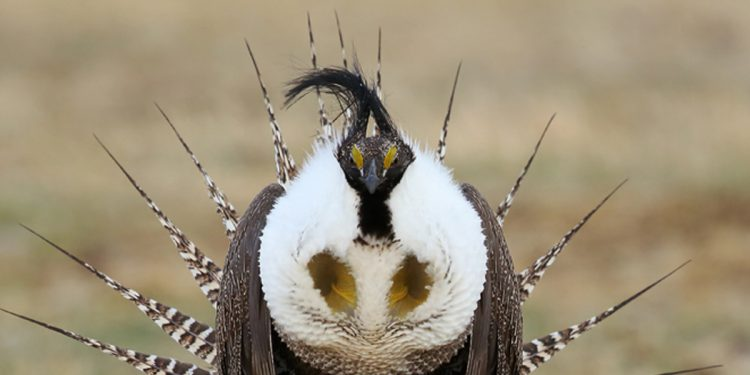 Gunnison sage-grouse: low count, high hopes