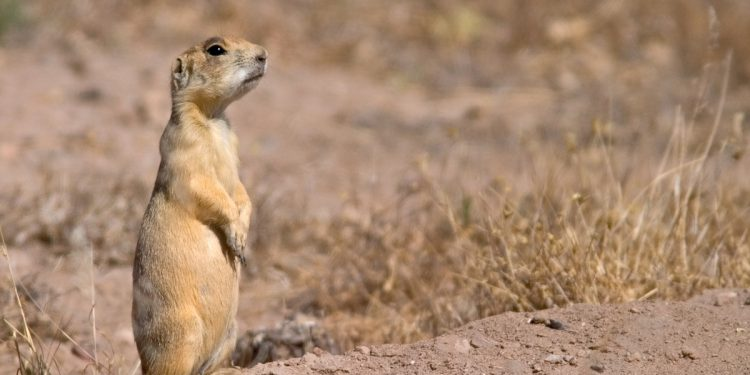 PRESS RELEASE: Trump Administration denies white-tailed prairie dog Endangered Species Act protection