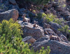 Bighorn Sheep, Photo by Bob Wick, BLM