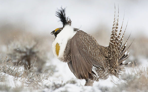 Gunnison grouse plan comes up short, groups say