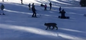 """The """"Village"""" at Wolf Creek Pass – a disaster for the Endangered Species Act listed Canada lynx"""