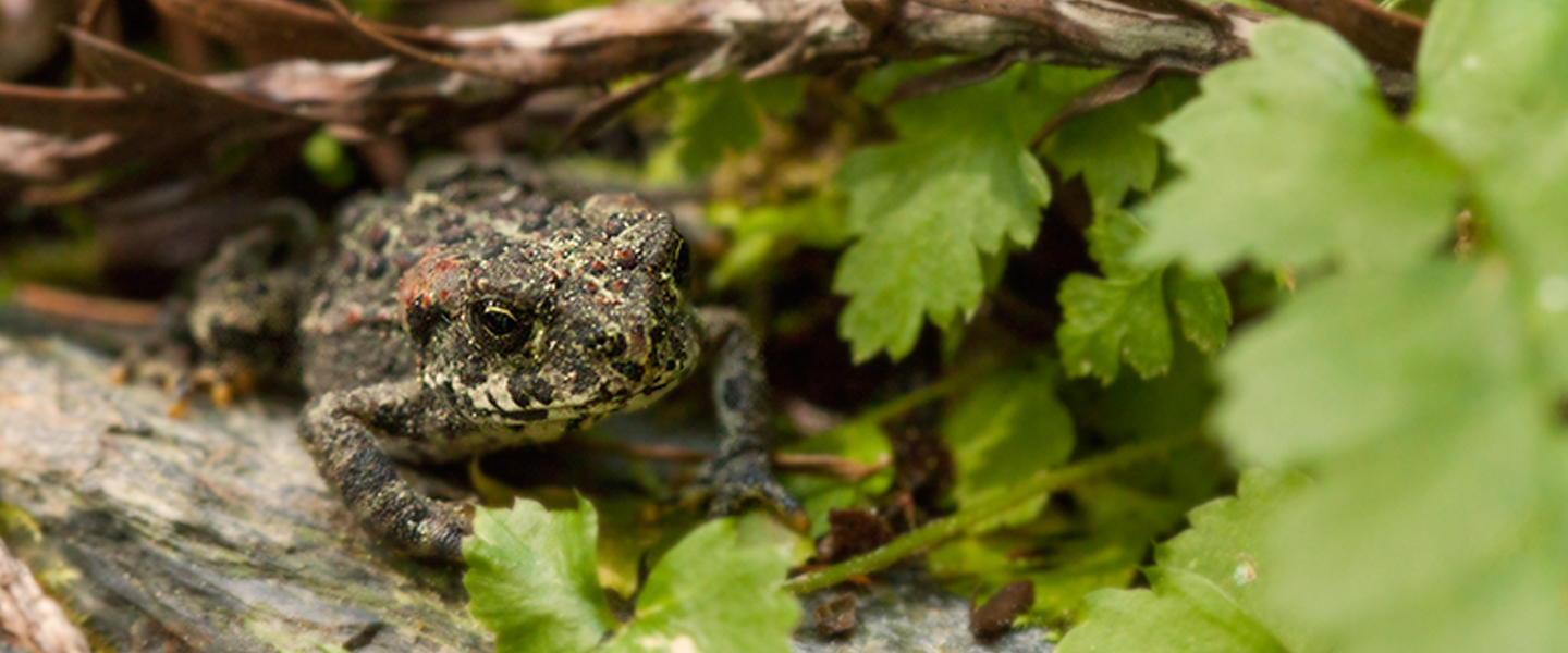 Boreal toad rocky mountain wild boreal toad sciox Image collections