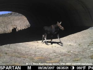 Lovely moose and her calf pictured using the State Highway 9 underpass this week!