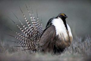 Gunnison sage-grouse