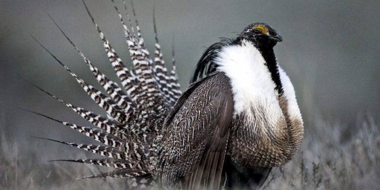 RMW's wildlife win for Gunnison sage-grouse in Court
