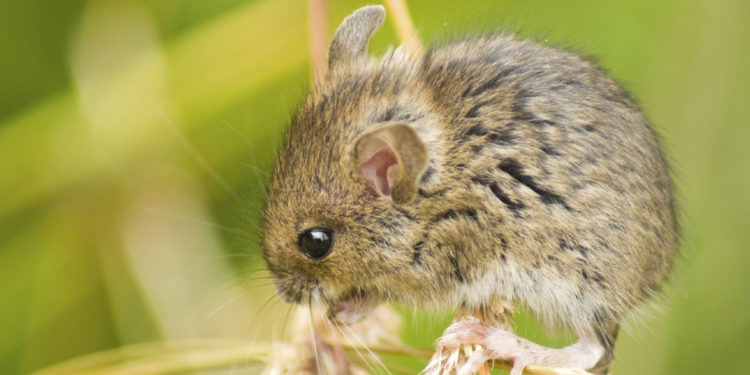 PRESS RELEASE: Petition Filed to Maintain Jumping Mouse's Endangered Species Protection