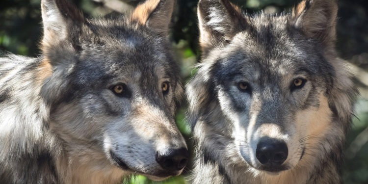 A Biologist's Perspective on Wolf Restoration