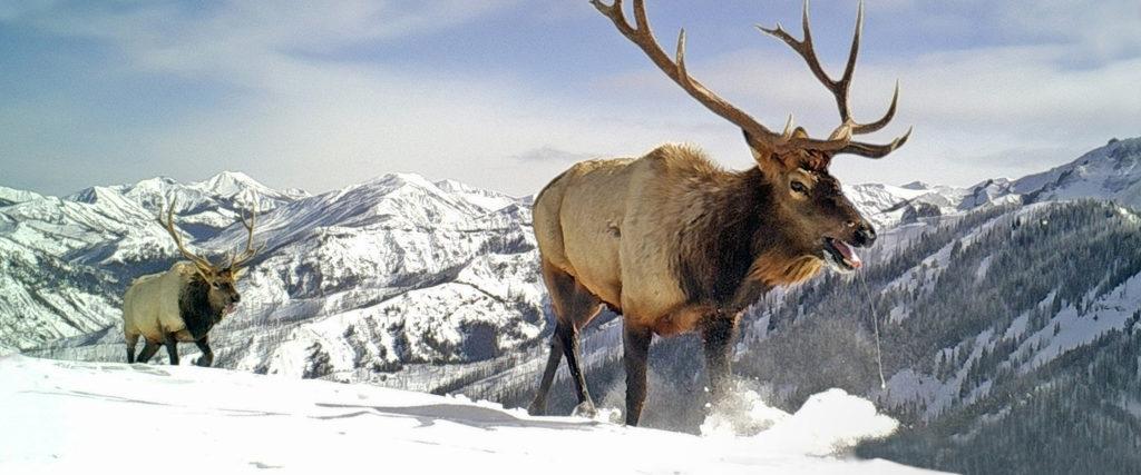 Bull elk migrating in Shoshone National Forest