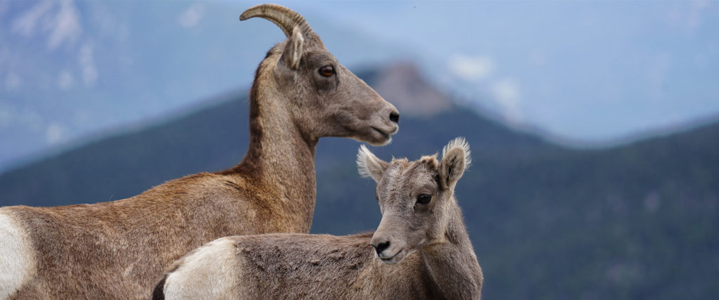 Bighorn Sheep - an ewe and lamb