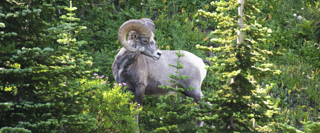 Bighorn sheep among trees