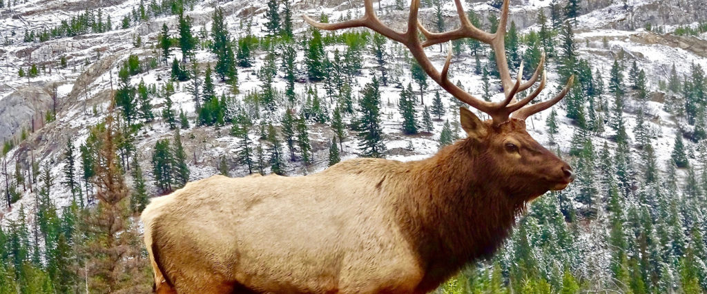 Elk in front of mountains and trees