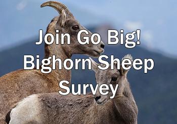 Go Big! Central Colorado Bighorn Sheep Survey