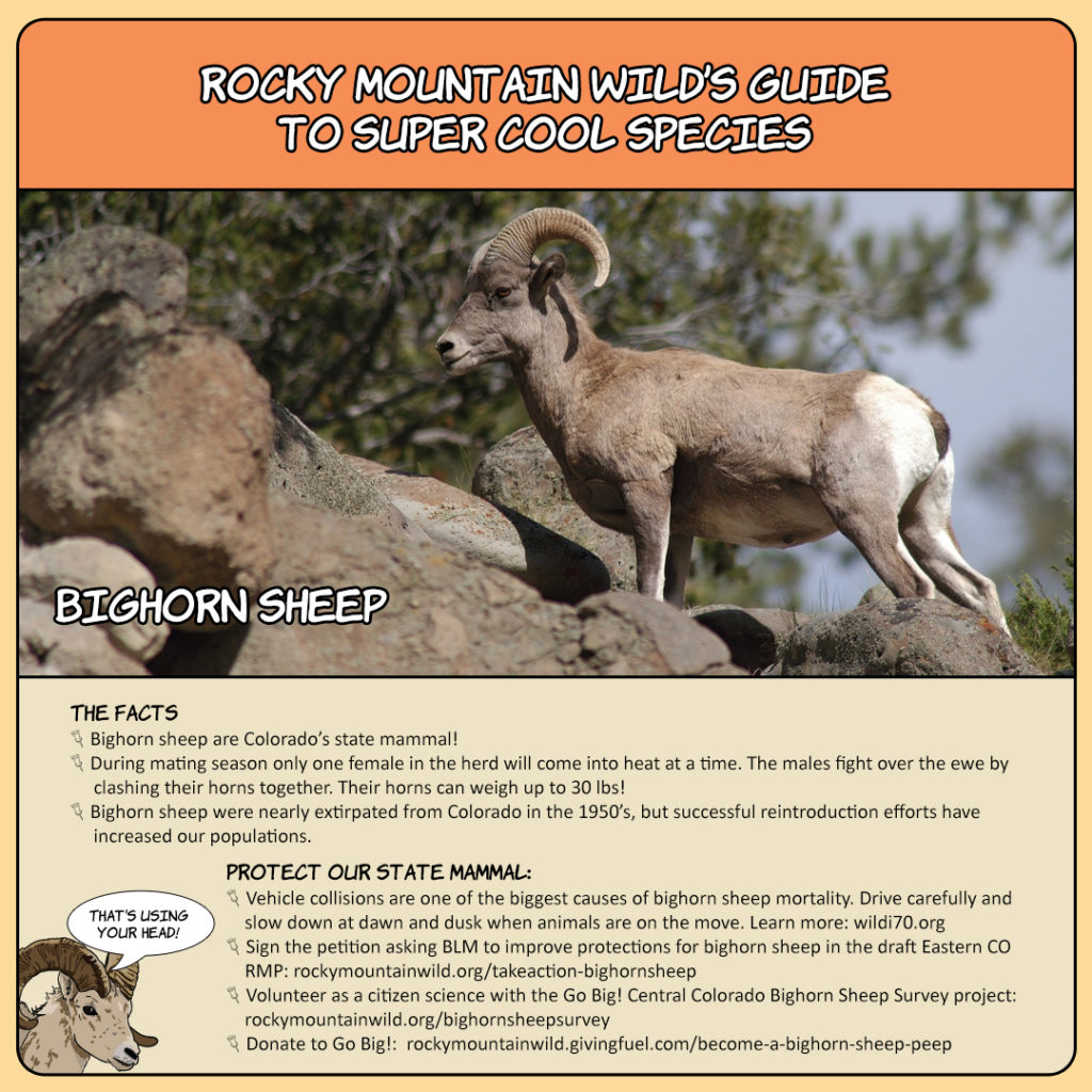 Rocky Mountain Wild's Guide to Super Cool Species: Bighorn Sheep card