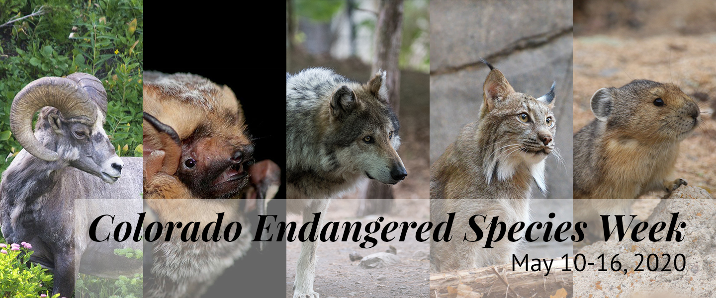Colorado Endangered Species Week banner, featuring bighorn sheep, hoary bat, gray wolf, Canada lynx, and American pika