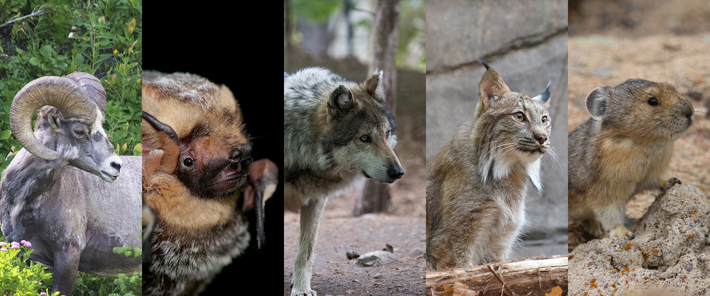 Endangered Species Day website banner showing a bighorn sheep, Hoary bat, gray wolf, Canada lynx, and American pika