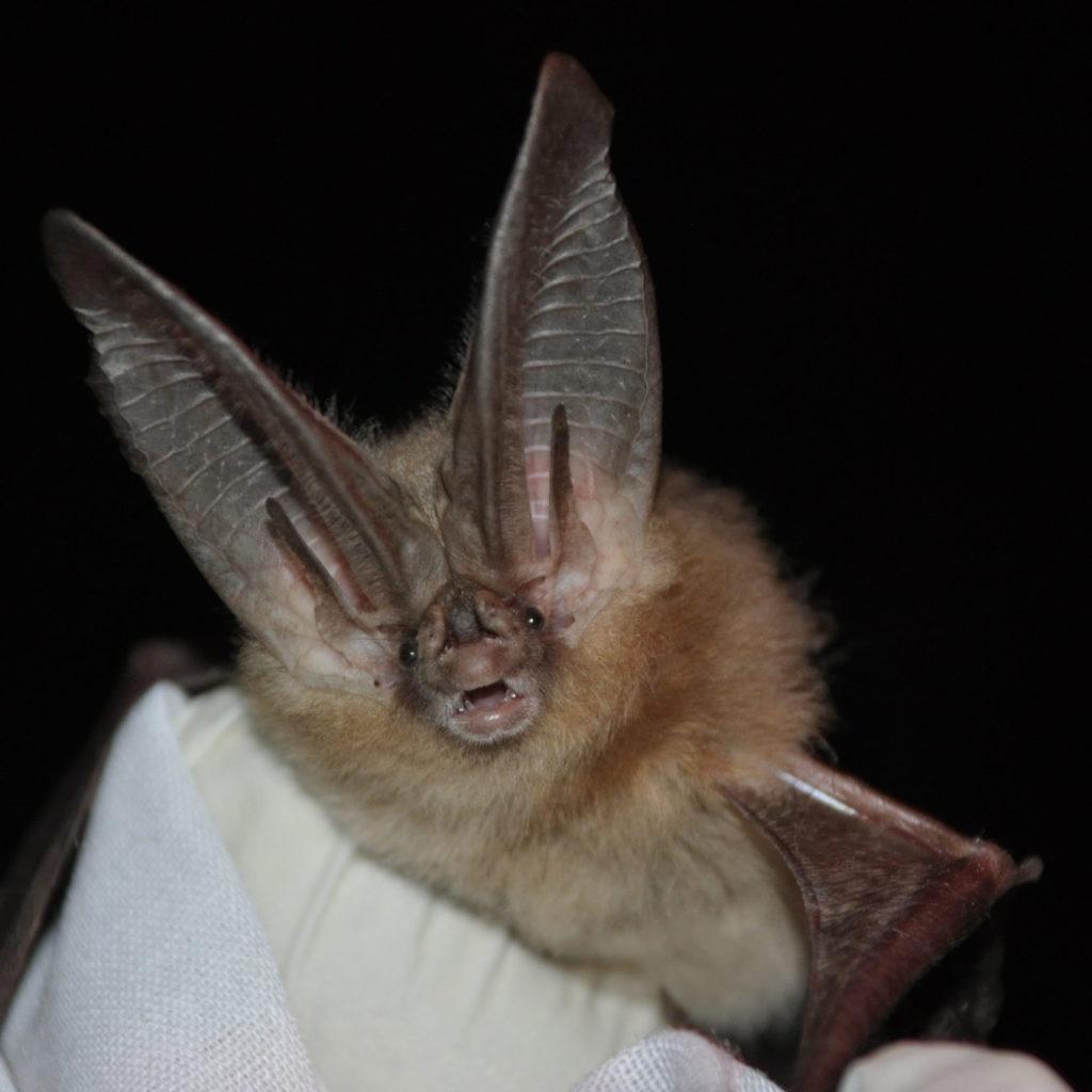 Townsend's big-eared bat, courtesy of Ann Froschauer, USFWS (CC BY 2.0, https://www.flickr.com/photos/usfwshq/6009182505)