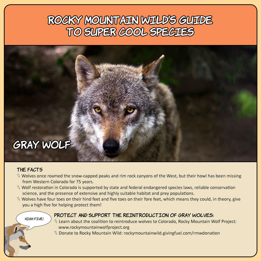 Rocky Mountain Wild's Guide to Super Cool Species, Gray Wolf card