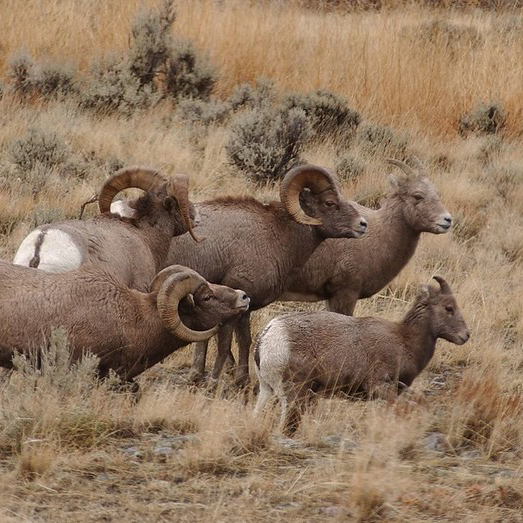 Bighorn sheep, rams and ewes. Courtesy of Yellowstone Gate (CC BY-NC-ND 2.0, https://www.flickr.com/photos/yellowstonegate/6277479959)
