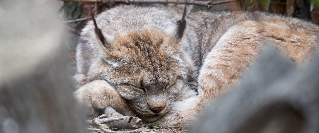 Canada lynx sleeping, courtesy of Eric Kilby