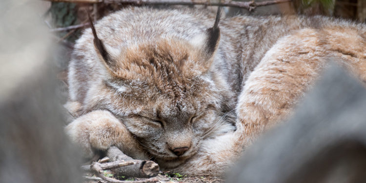 Rocky Mountain Wild Lynx Tree