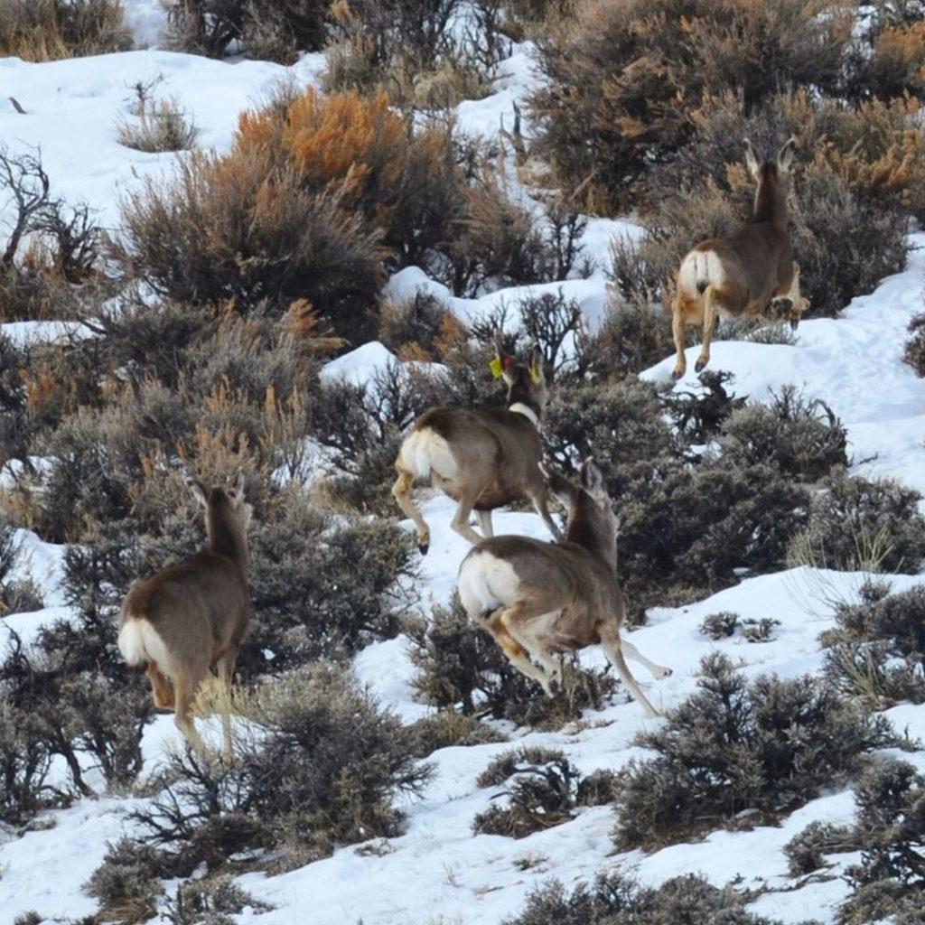 Four mule deer running up a hill.