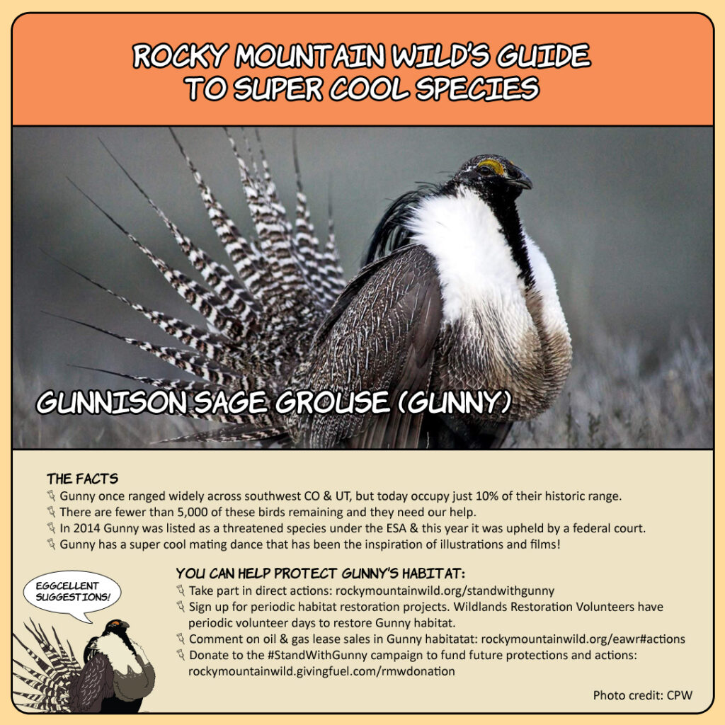 Rocky Mountain Wild's Guide to Super Cool Species: Gunnison Sage-Grouse