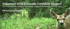 """A remote triggered camera photograph of a fawn in a wooded area. Text says: """"Volunteer with Colorado Corridors Project! Join us to monitor wildlife using remote triggered cameras on East Vail Pass. bit.ly/ccp_volunteer"""""""
